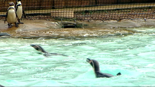 annual animal census at national zoo's: london zoo stocktake; zoo keeper along in penguin enclosure / penguins swimming / penguins along / penguins... - aquatic organism stock videos & royalty-free footage