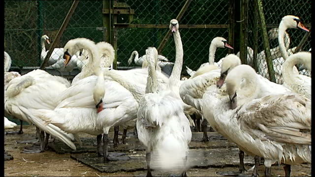 annual tradition of swan upping on the thames t22061332 / tx swans preening to get natural oils back onto feathers ** barber interview overlaid sot ** - preening stock videos & royalty-free footage