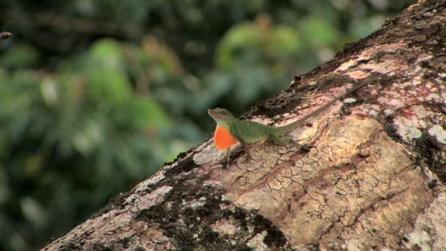 cu anole lizard showing orange throated courtship display and bobbing up and down on branch in manu national park / peru - amazon region stock videos & royalty-free footage