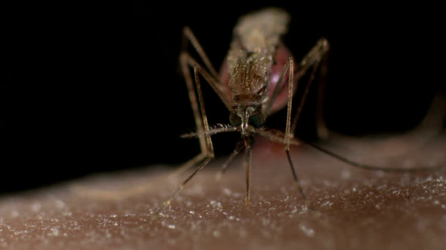 anopheles gambiae mosquito biting human skin. this mosquito is the vector for malaria - infectious disease stock videos & royalty-free footage