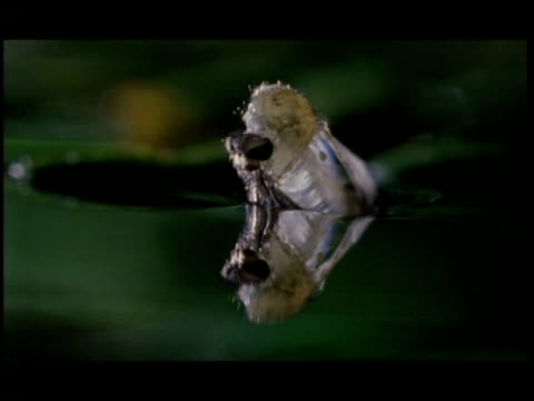 t/l anopheles gambiae mosquito emergence - emergence stock videos & royalty-free footage
