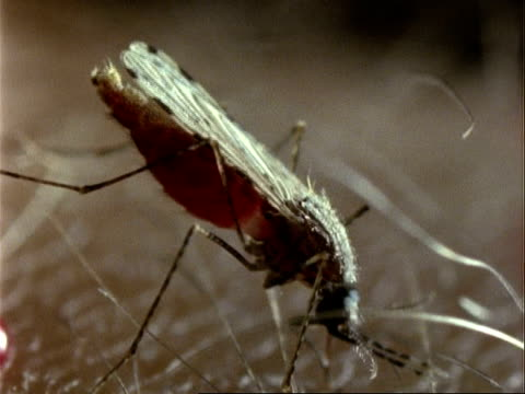 anopheles mosquito, bcu feeding on human arm, disengaging overfill - human arm stock videos & royalty-free footage