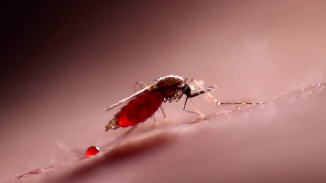 anopheles mosquito feeding - infectious disease stock videos & royalty-free footage