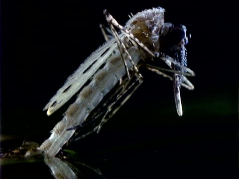 anopheles mosquito, cu time lapse emergence from water, lifts head - emergence stock videos & royalty-free footage