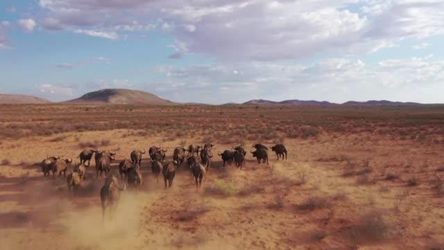 anos de sequia en la region de kalahari en sudafrica han provocado la muerte de mas de 1000 animales y complicado la vida de los habitantes de esta... - hombres stock videos & royalty-free footage