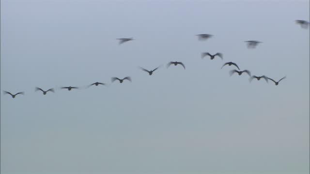 anser fabalis middendorffii at penke pond in sarobetsu, hokkaido - birds flying in v formation stock videos and b-roll footage
