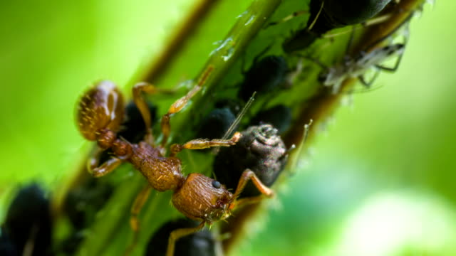 ant and aphids - ant stock videos & royalty-free footage