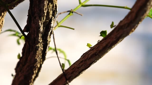 Ameisen tragen Blätter am Baum