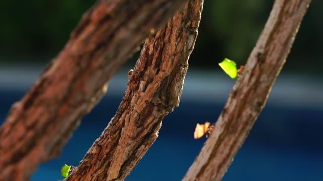 vídeos de stock e filmes b-roll de ant carrying leaves on the tree - saúva da mata
