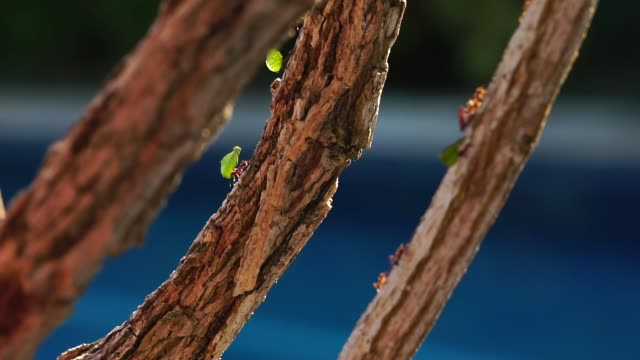 ant carrying leaves on the tree - ant stock videos & royalty-free footage