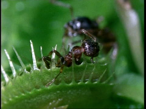 cu ant caught in venus flytrap, dionaea muscipula, insectivorous plant, united kingdom - insectivore stock videos & royalty-free footage