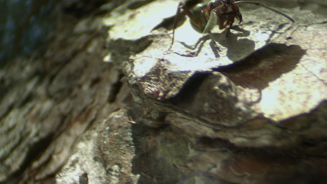 ms pov pan ant climbing way down on old tree / visby, nar, ljugarn, gotland, sweden   - one animal stock videos & royalty-free footage