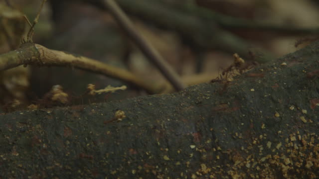 ant colony in rain forest, montage - one animal stock videos & royalty-free footage