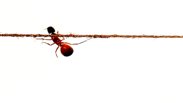 ant crawling under  thin rope and trying to climb up - rope stock videos & royalty-free footage
