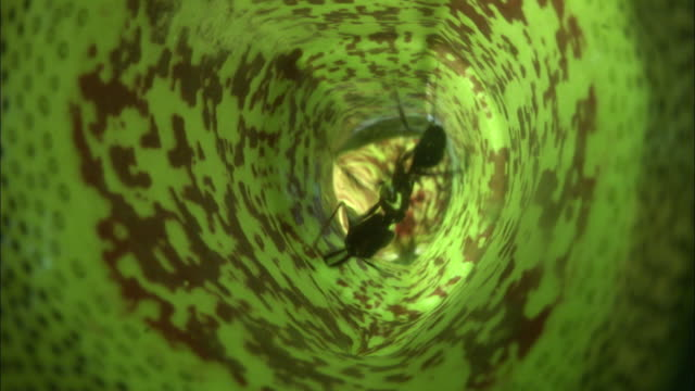 ant drowns in pitcher plant urn, borneo - borneo stock-videos und b-roll-filmmaterial