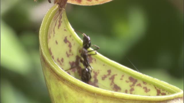 vídeos y material grabado en eventos de stock de ant falls into pitcher plant urn, borneo - carnivorous plant