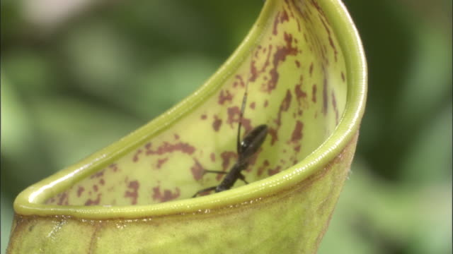 ant falls into pitcher plant urn, borneo - insectivore stock videos & royalty-free footage