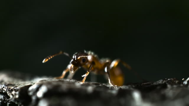 Ant gets sprayed by caustic fluid from bombardier beetle (Pheropsophus species).