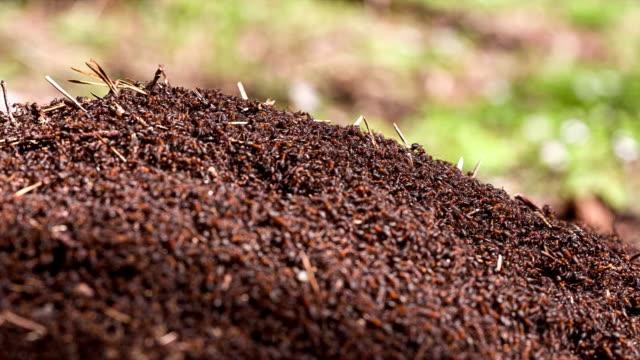 vidéos et rushes de fourmi hill dans la forêt.   gros plan. - de grande taille