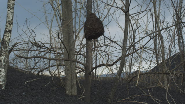 ant hill on tree growing in ash field, nyamuragira, democratic republic of congo, 2011 - 無脊椎動物点の映像素材/bロール