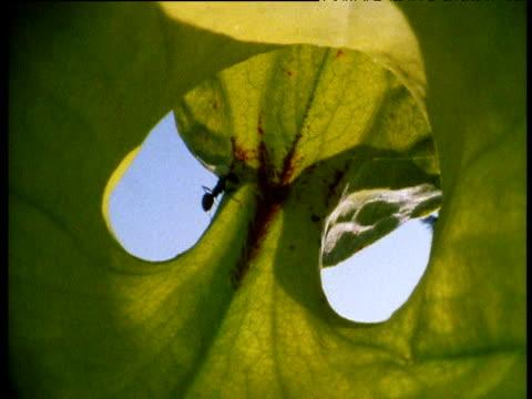 vídeos y material grabado en eventos de stock de ant is caught by yellow trumpet pitcher plant. - planta pitcher