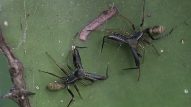 ant mimic jumping spiders (salticidae) wrestle with huge fangs, tanzania - spider stock videos and b-roll footage