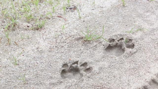 Ant Runs Thru Lion Tracks