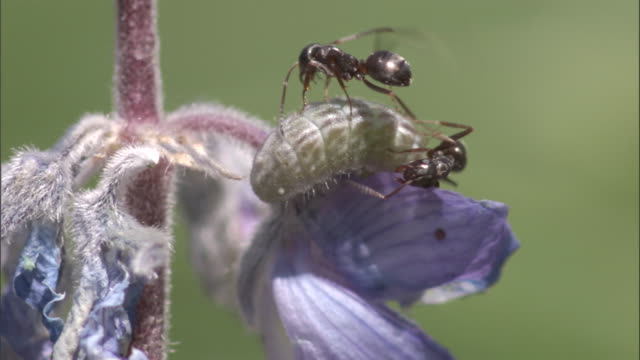 Ant tends to honeydew producing Lycaenid caterpillar, Yellowstone, USA