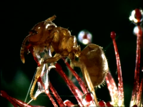 ant trapped on sundew, cu, uk - carnivorous plant stock videos and b-roll footage