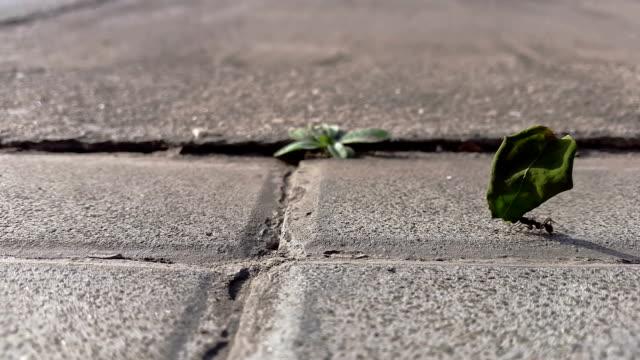 vídeos de stock e filmes b-roll de formiga andar com um grande deixa isolado me um difícil caminho - formiga