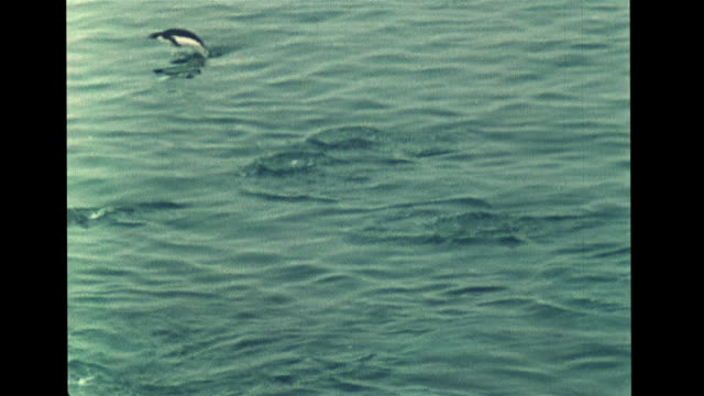 antarctic adelie penguin quickly crossing ice diving into water penguins swimming ms marine biologist watching w/ binoculars smallest aquatic... - antarctica scientist stock videos & royalty-free footage