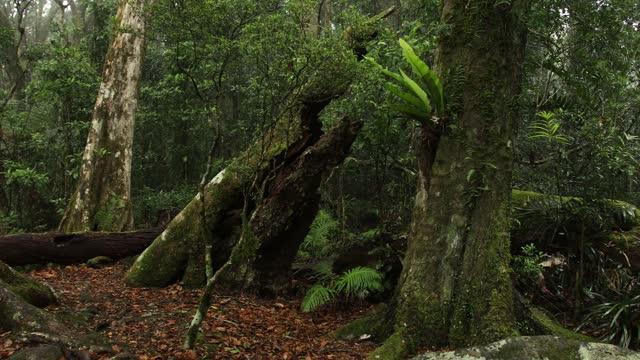 vídeos de stock, filmes e b-roll de árvores de faia antártica no parque nacional lamington - tropical