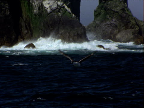 vídeos y material grabado en eventos de stock de antarctic cormorant flies towards and over camera, sea and cliffs in background, south georgia - georgia del sur