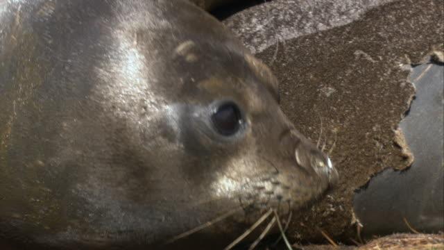 stockvideo's en b-roll-footage met ecu, antarctic fur seal, antarctica - atlantische eilanden