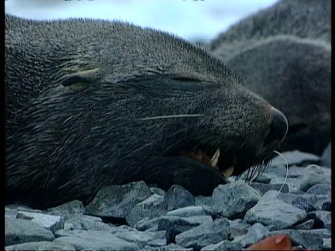 vídeos y material grabado en eventos de stock de cu antarctic fur seal, arctocephalus gazella, laying on rocky ground, antarctica - foca peluda