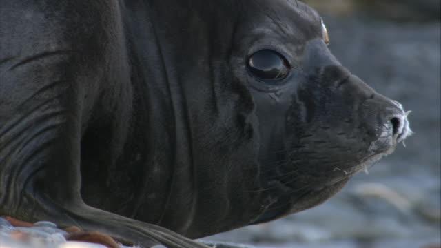 stockvideo's en b-roll-footage met ecu, antarctic fur seal, headshot, antarctica - atlantische eilanden