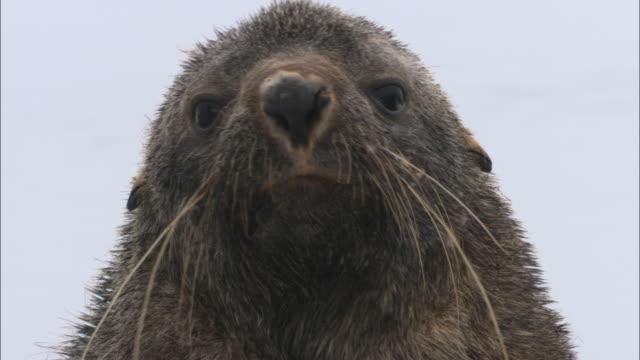 CU, Antarctic Fur Seal (Arctocephalus gazella), headshot, Antarctica