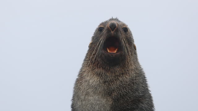 antarctic fur seal, mouth open, looking at camera - seal animal stock videos & royalty-free footage