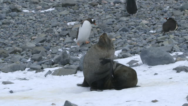 ms antarctic fur seal on beach in snow / antarctica peninsular, antarctica - 四匹点の映像素材/bロール