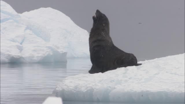 ms, antarctic fur seal (arctocephalus gazella) on ice floe, antarctica - 30 seconds or greater stock videos & royalty-free footage