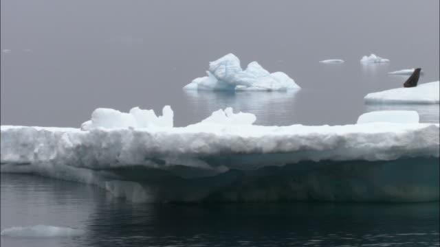 MS, PAN, Antarctic Fur Seal (Arctocephalus gazella) on ice floe, Antarctica