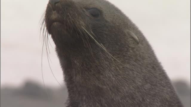 antarctic fur seal (arctocephalus gazella) portrait - morrhår bildbanksvideor och videomaterial från bakom kulisserna
