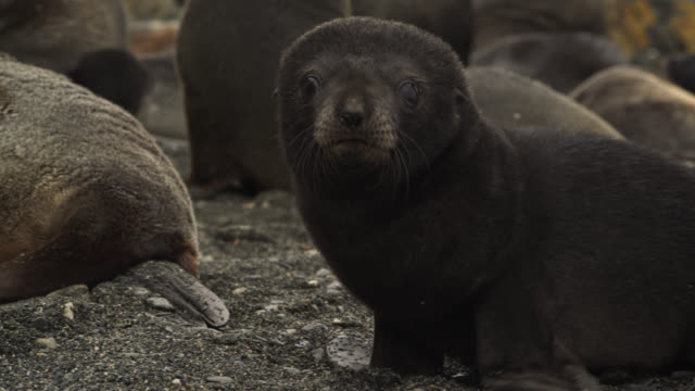 antarctic fur seal pup on beach, south georgia - seal pup stock videos & royalty-free footage