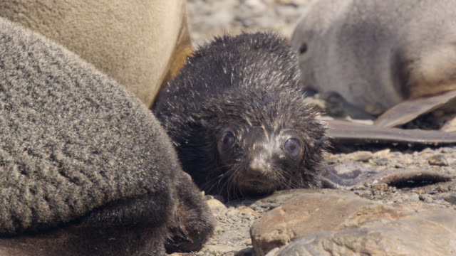 antarctic fur seal pup on beach, south georgia - seal pup stock videos and b-roll footage