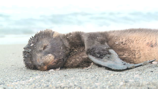 antarctic fur seal (arctocephalus gazella) pup. sick animal near to death. salisbury plain, bay of isles, south georgia - seal animal stock videos and b-roll footage