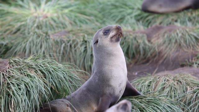 Antarctic Fur Seal pups and females at Salisbury Plain, South Georgia, Southern Ocean.