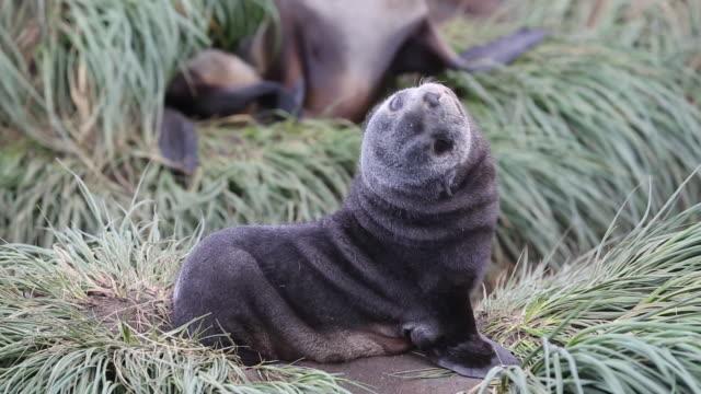 antarctic fur seal pups and females at salisbury plain, south georgia, southern ocean. - seal pup stock videos & royalty-free footage