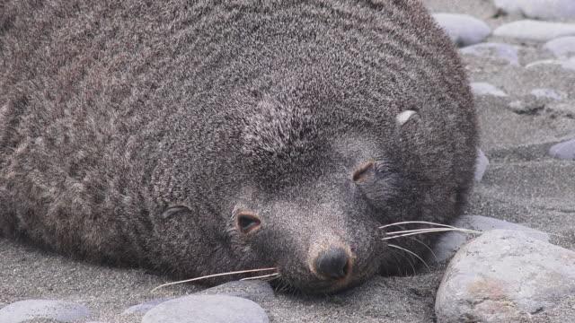 vídeos y material grabado en eventos de stock de antarctic fur seal, salisbury plain, south georgia island, southern ocean - foca peluda