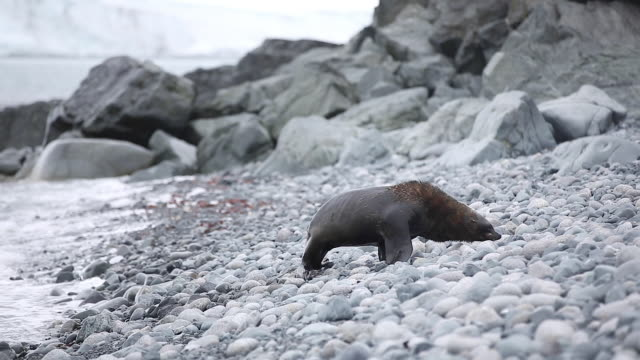 Antarctic Fur Seal slowly making its way up a pebble beach