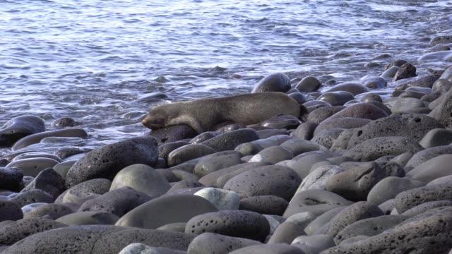 vidéos et rushes de antarctic fur seal (arctocephalus gazella) - otarie à fourrure